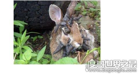 未知生物鹿角兔的真实图片,其实是长有肿瘤的棉尾兔(看着很恐怖)