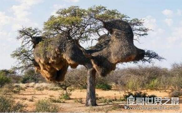世界上最大的鸟窝,重量超过900公斤(可以同时容纳500只鸟)