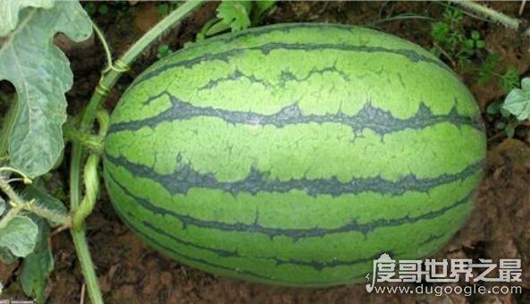 为什么没有北瓜,西葫芦即是北瓜(北瓜是地方概念/西葫芦是学名)