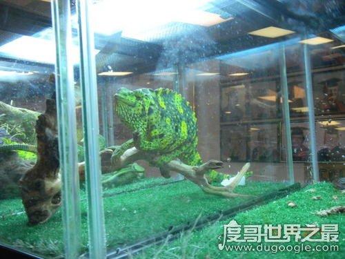 世界上最大的变色龙,国王变色龙体长70厘米(舌头长110厘米)