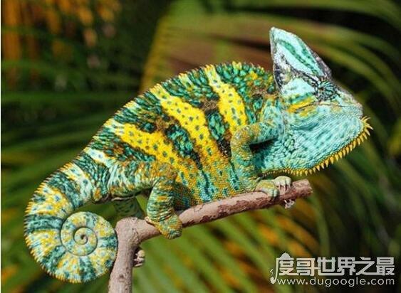 世界上最容易繁殖的变色龙,高冠变色龙(6个月即可成年)