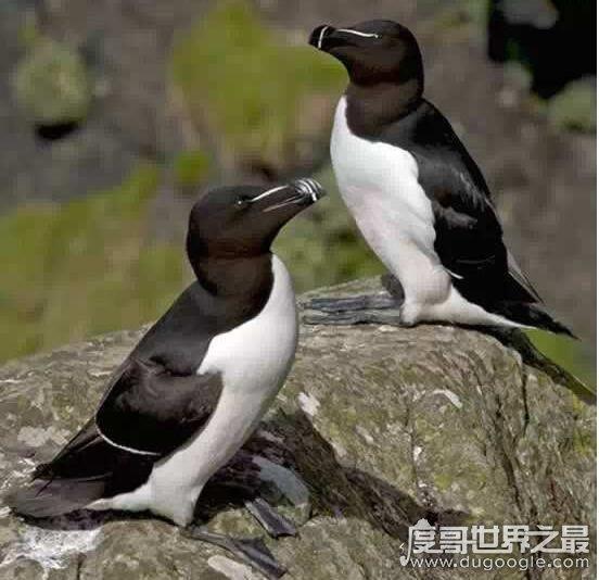 大海雀的灭绝时间,1844年(因人类的大量捕杀而绝种)