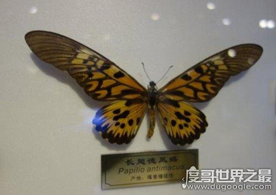 世界八大名贵蝴蝶盘点,最珍贵的是我国的国蝶(四种为中国特有)