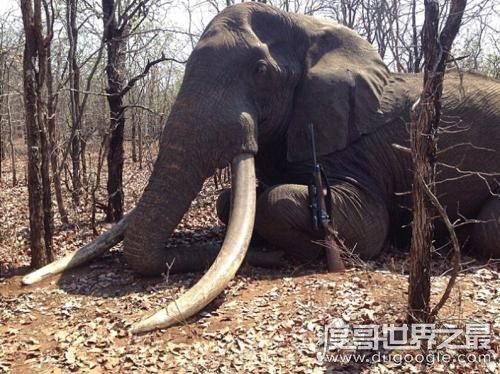 世界上最大的象牙,重217斤/长3.11米(距今已有120年的历史)