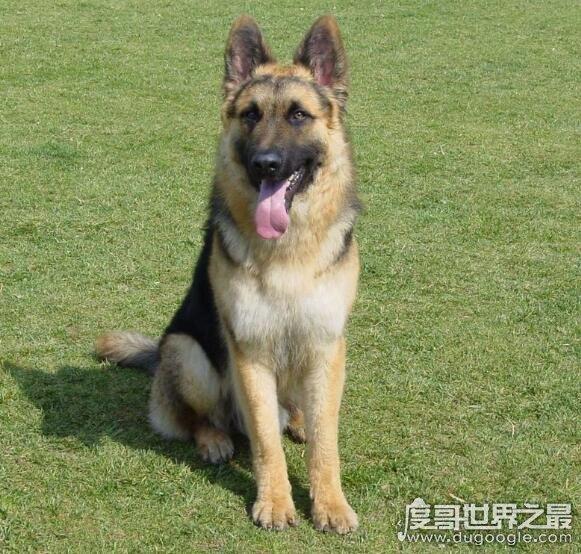 世界十大动物嗅觉排行榜,寻血猎犬能够追踪超过14天的气味