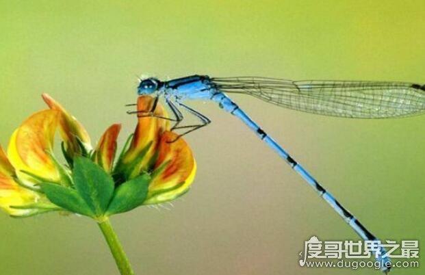 世界上眼睛最多的动物,蜻蜓(每只复眼有28万个眼晶体)