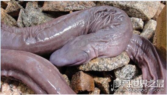 苹果彩票福利网站长相最奇特的蛇,巴西盲蛇(外形酷似男人的小丁丁)