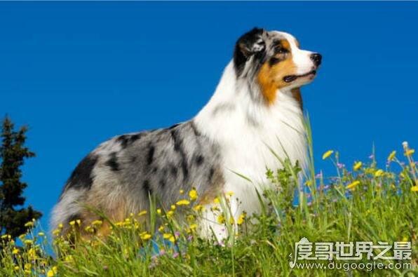 什么狗最聪明?世界上最聪明的十种狗狗排名(边境牧羊犬排名第1)