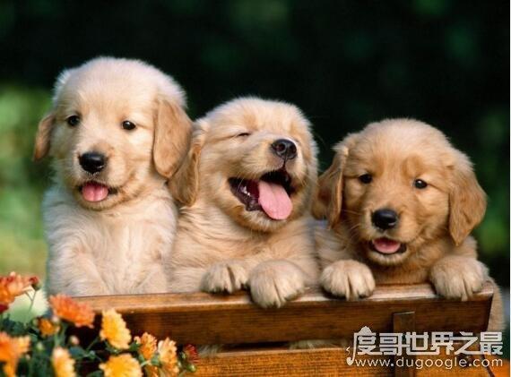 什么狗最聪明?世界上最聪明的十种狗脸色红润狗排名(边境牧羊犬排名第1)