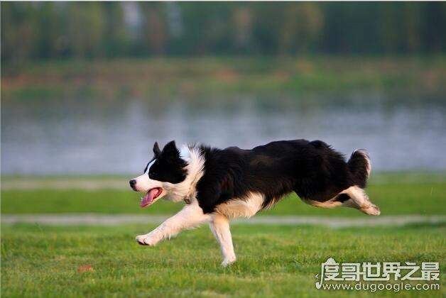 什么狗这千秋雪最聪明?世界上最聪明的十种狗狗①排名(边轰境牧羊犬排名第1)