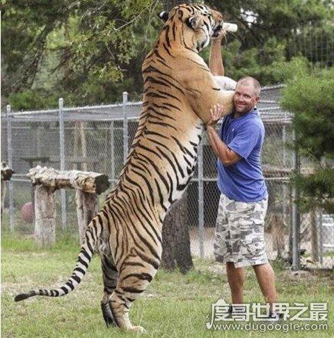 东北虎秒杀狮子是真的吗,东北虎体型占据优势(附高清视频)