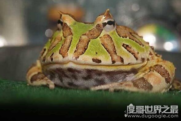 世界上最大的角蛙,霸王角蛙(一种对其它同类非常凶残的蛙)