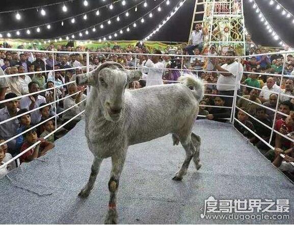 世界上最贵的羊,瓦格吉尔羊价格超过1600万元一只
