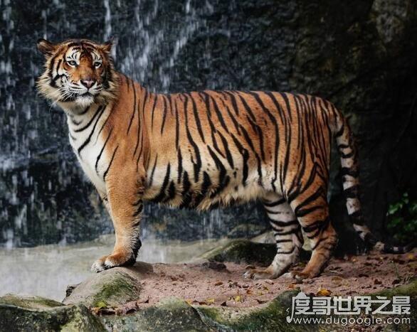 世界上最凶猛老虎排名,东北虎实力最强(是体重最大猫科动物)