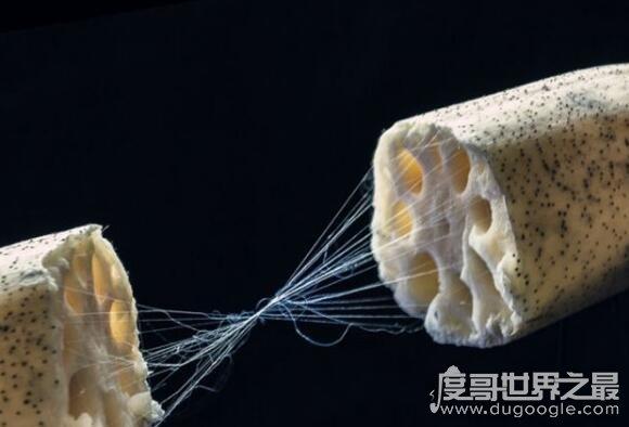 藕断丝连的科学解释,藕内壁的螺旋导管能够在一定范围内拉长