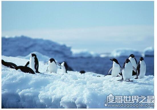 北极熊为什么不吃企鹅,因为企鹅在南极(两者不属于一个食物链)