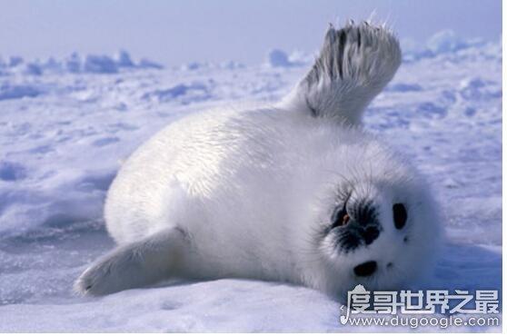 世界上皮毛最保暖的动物排名,北极熊最不怕冷(有浓密保暖的皮毛)