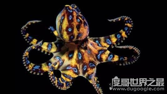 海底最毒章鱼,澳洲蓝环章鱼(全身毒液可杀死26名成年人)