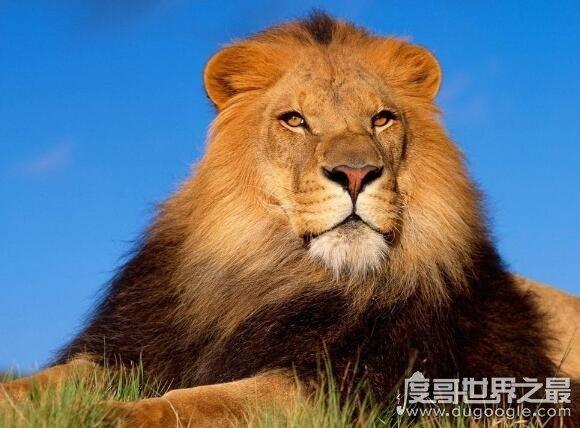 世界上最大的食肉动物,陆地霸主:老虎(海洋霸主:虎鲸)
