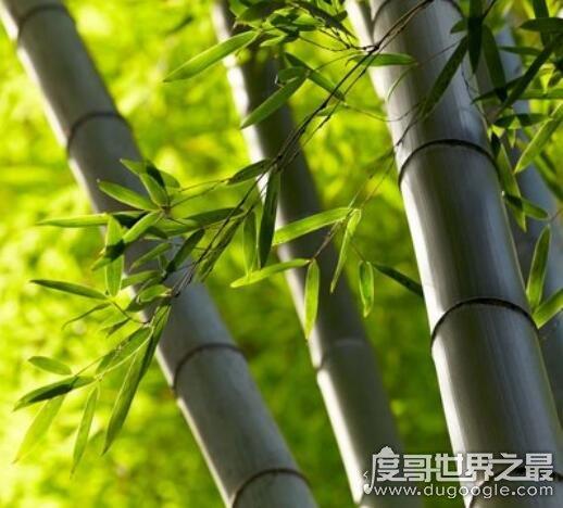 竹子的寓意有哪些,竹子的4大寓意盘点(竹子乃君子的化身)