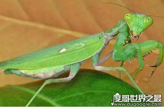 螳螂吃什么,主要以各种农业害虫为食(是肉食性昆虫)
