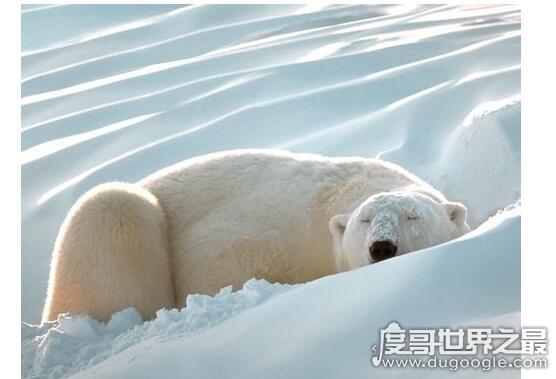 北极熊冬眠吗,在冬季严冬会有局部冬眠现象(可长时间不吃东西)