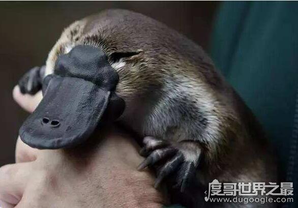 世界上最原始的哺乳动物,鸭嘴兽(2500万年前就已经出现)