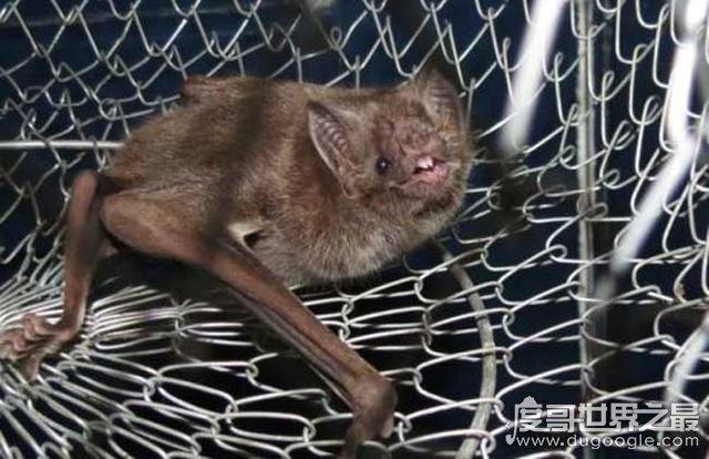 蝙蝠飞到家里是什么预兆,是吉祥之兆(因为蝠和福谐音)