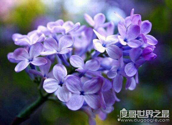 丁香花是什么颜色的,主要有白丁香和紫丁香(淡紫色的居多)
