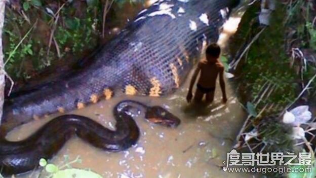 现今世界上最大的蛇有多大,平均长度为10米(处于南美洲食物链顶端)