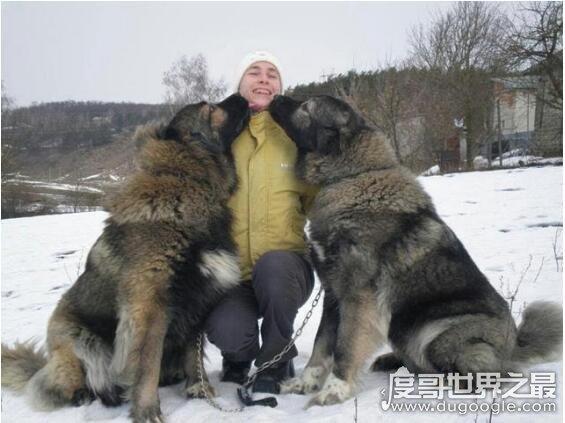 世界上最大的爱尔兰猎狼犬,身高接近1米的它们拥有超敏捷的身手