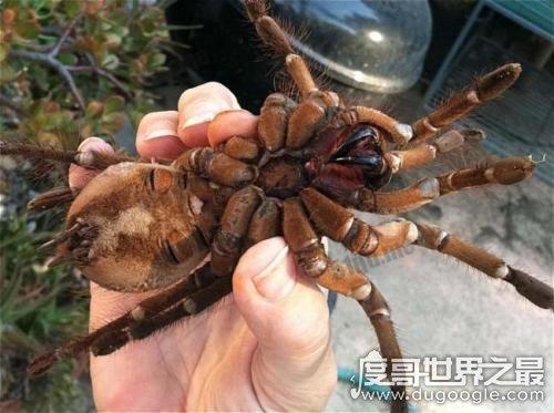 世界上最大的毒蜘蛛,蜢蜘直径25厘米/重230克(毒牙长3.8厘米)