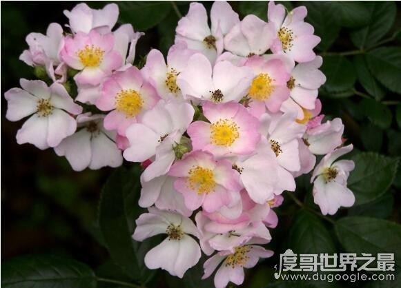 世界上最香的花排行,野蔷薇香味浓郁诱人(盘点香飘十里的花)