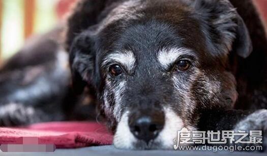 世界最老寿命最长的狗狗辞世,活了30年的它相当于人类133岁高龄