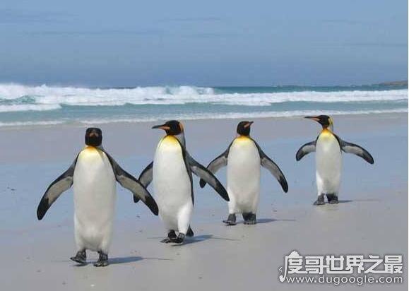 世界上最大的企鹅,皇帝企鹅(身高最大可达120厘米)