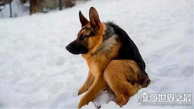 世界上最丑的犬种,卡西莫多犬(天生残疾没有脖子)
