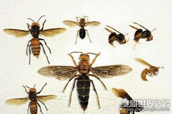 世界上最大的马蜂,体长7厘米/翅展长9.35厘米(是普通马蜂的2倍)