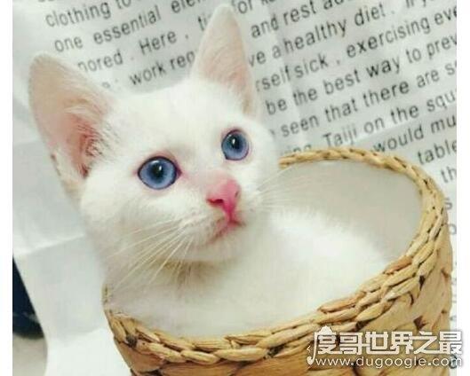 蓝眼白猫是什么品种,是蓝眼睛白毛猫的统称(没有具体品种)