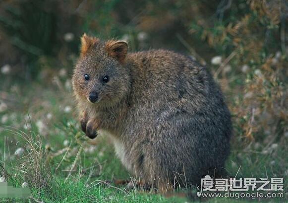 世界上最小的袋鼠,短尾矮袋鼠(体重一般在4.5公斤以内)