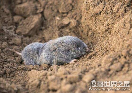 地羊是什么动物,它学名中华鼢鼠(拥有超强挖洞能力)