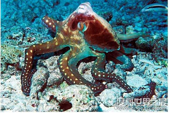 章鱼的血液是什么颜色,是蓝色的(因为血液中的铜离子是蓝色)