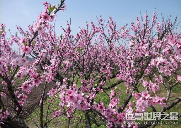 桃花什么时候开,每年3~6月份是桃花盛开的时节(养护技巧)