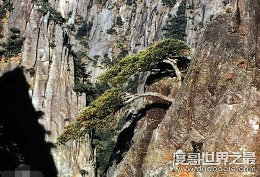 黄山十大名松,是黄山绝美奇景(每一株都展现着自然之美)