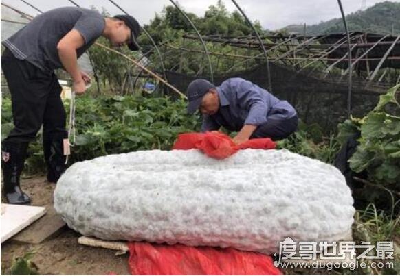 世界上最大的冬瓜,浙江农民种出447.8斤的超大冬瓜
