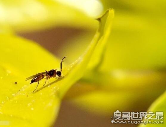 世界上最小的蚊子,墨蚊体长仅1毫米(定咬人超级疼还有毒性)