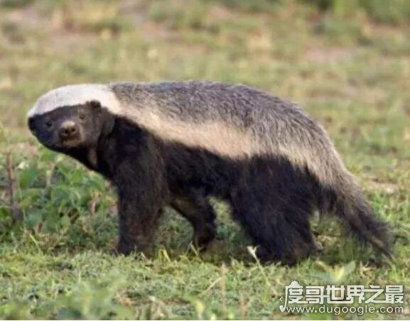平头哥蜜獾最怕什么,大型猛兽是其天敌