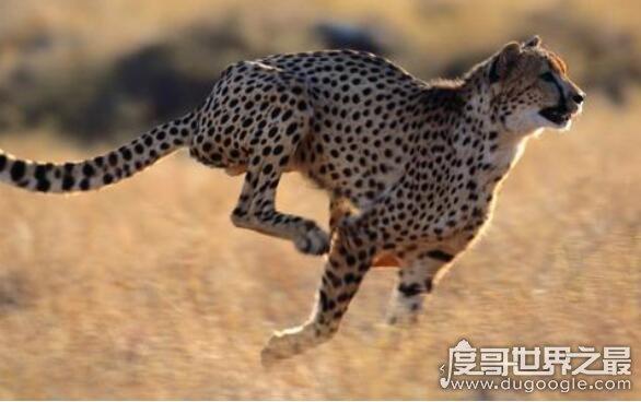 跑得最快的三种动物排行,猎豹时速达130千米