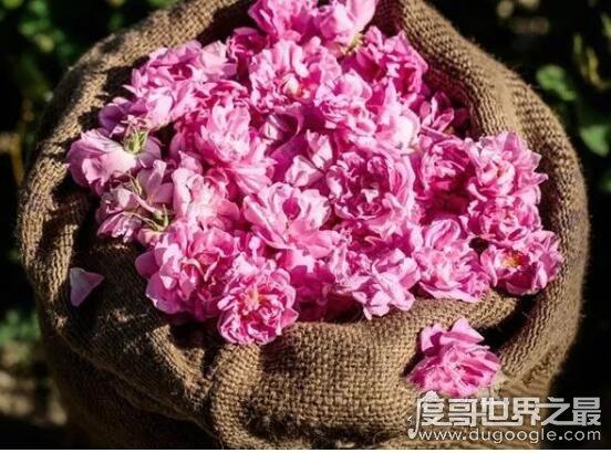 世界上最美的玫瑰花排名,这些娇嫩的鲜花漂亮的让人心动