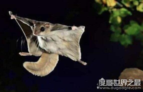 寒号鸟是种什么动物,它就是复齿鼯鼠(一种啮齿目松鼠科的动物)