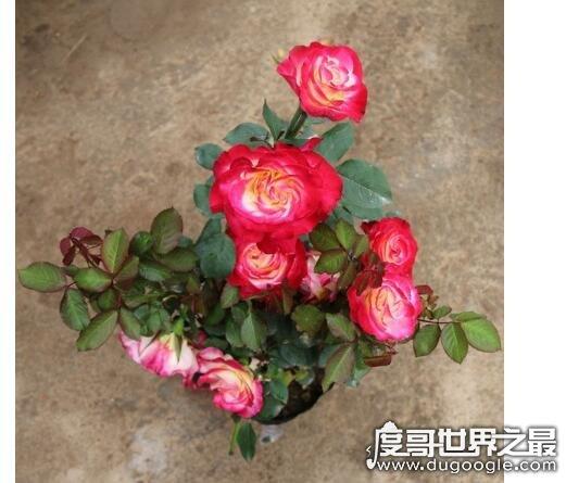 世界上最贵的玫瑰花,朱丽叶玫瑰(价值高达2700多万元)